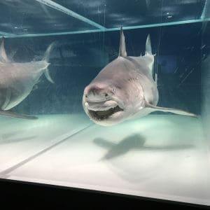 ホオジロザメの全身液浸標本